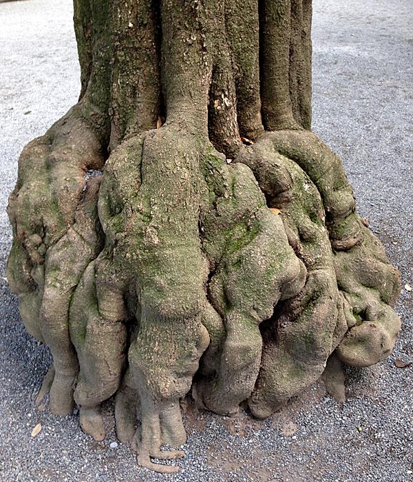 こんもりした木の根