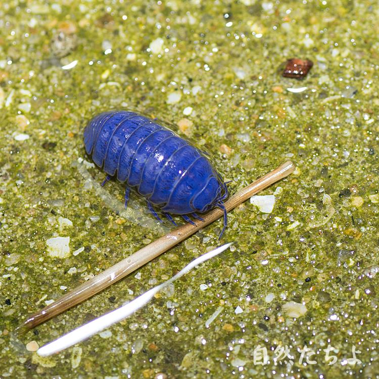 青いダンゴムシ