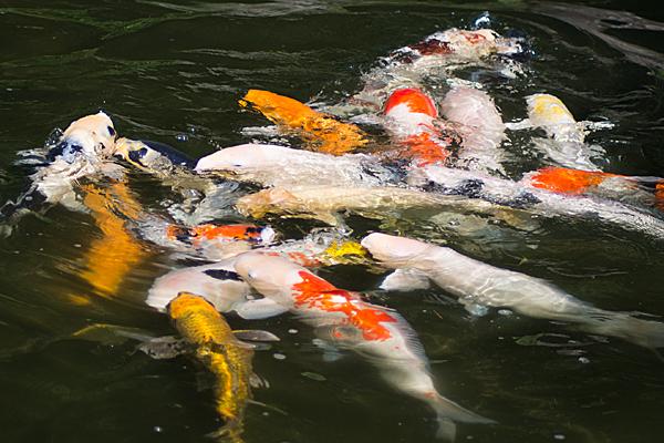 エサ喰う鯉