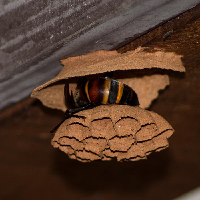 スズメバチの巣作り