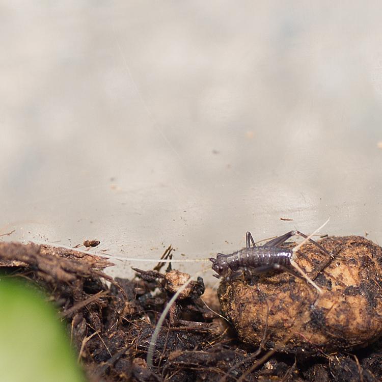 スズムシの幼虫