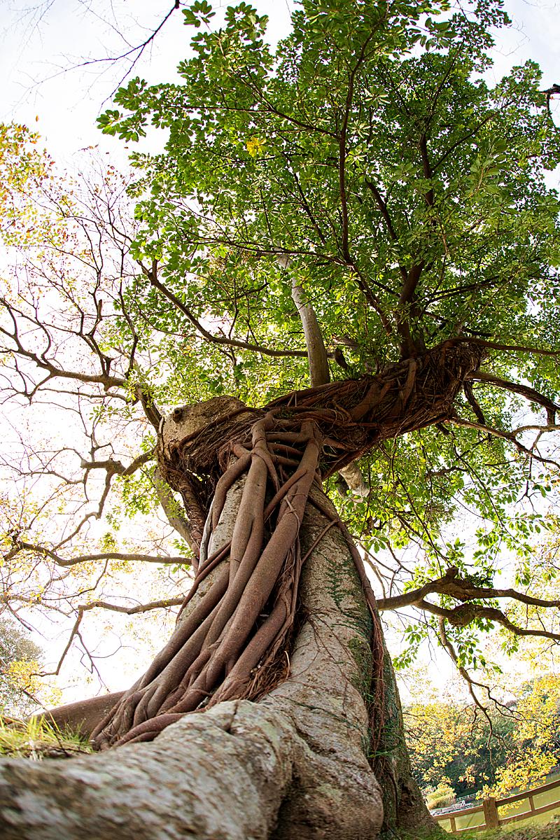 木にからみついたツタ