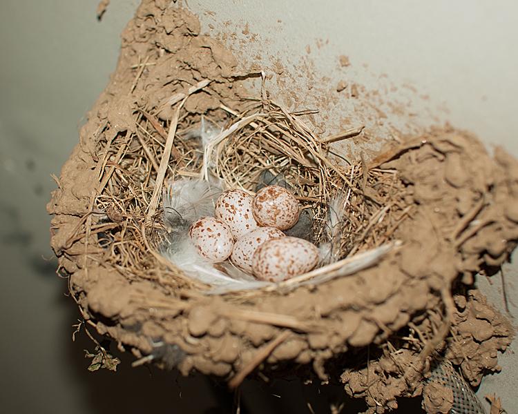 ツバメの産卵確認2015