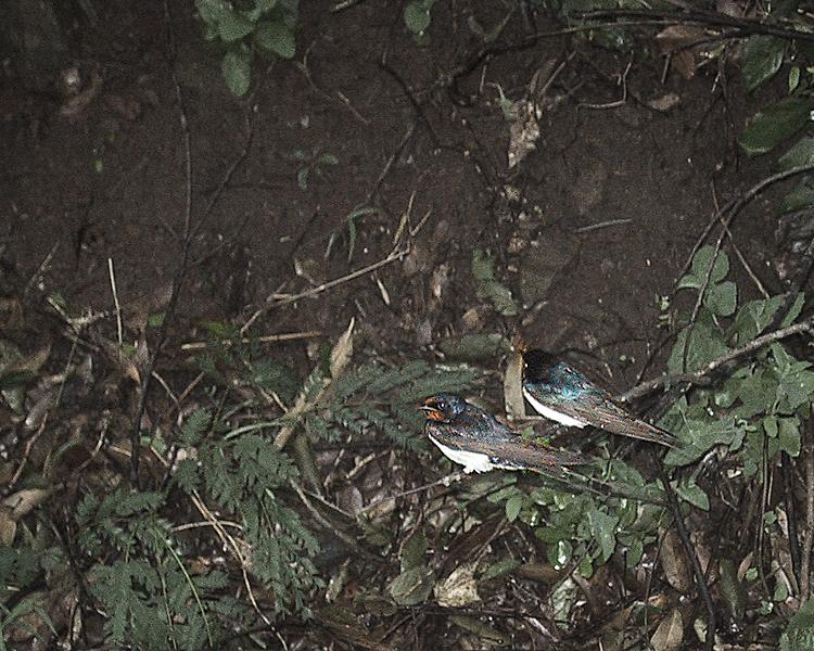 ツバメ観察記2006
