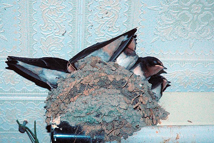 巣にすし詰めなつばめ