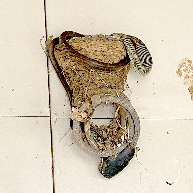 ヘビに襲われたツバメの巣